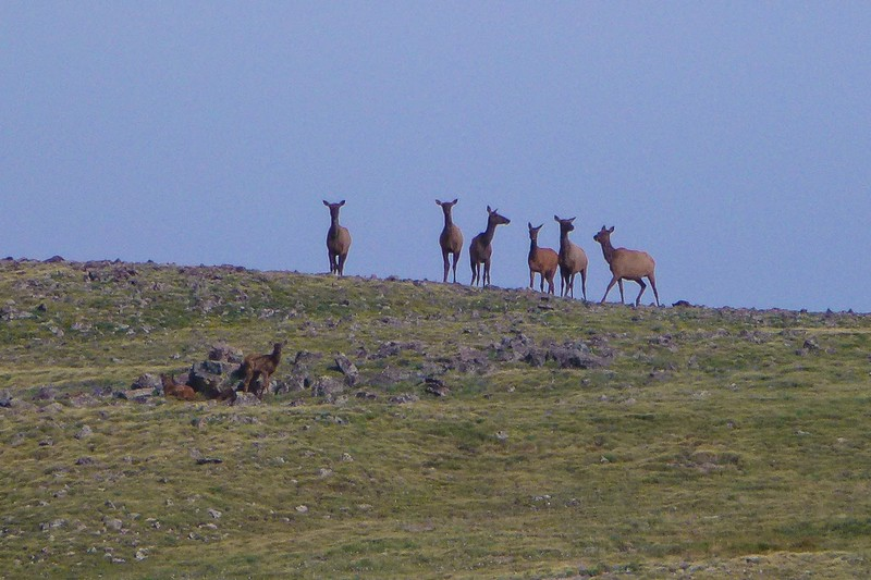 Elk!  And see the two little ones?