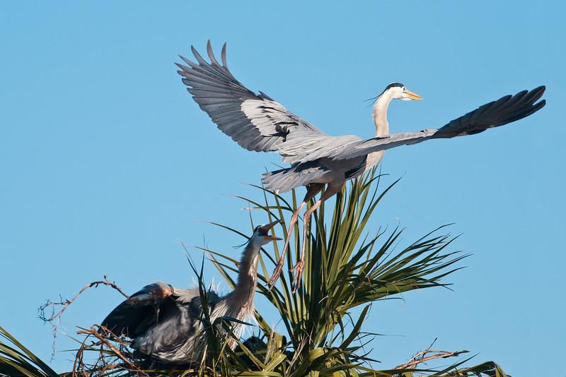 Heron - Great Blue - Conflict at nest - Viera Wetlands, FL - 02