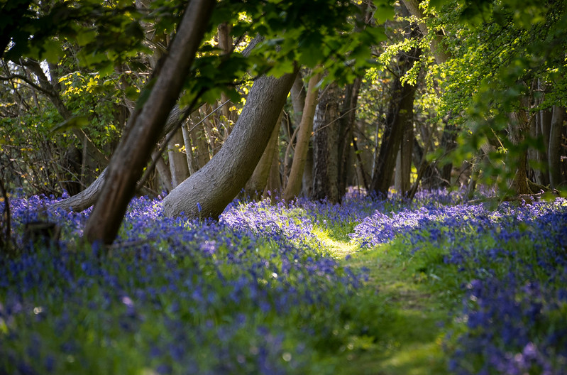Bluebell path with dappled sunlight.jpg