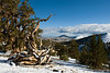 A gnarled ancient bristlecone pine tree in the White Mountains