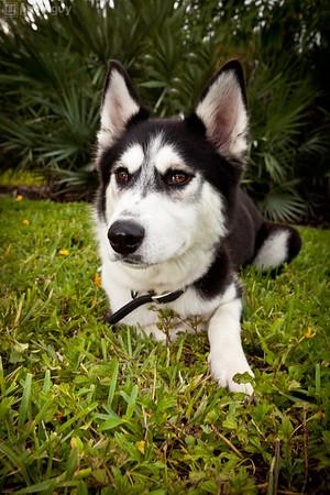 0001-South Florida Siberian Husky Rescue-Edit