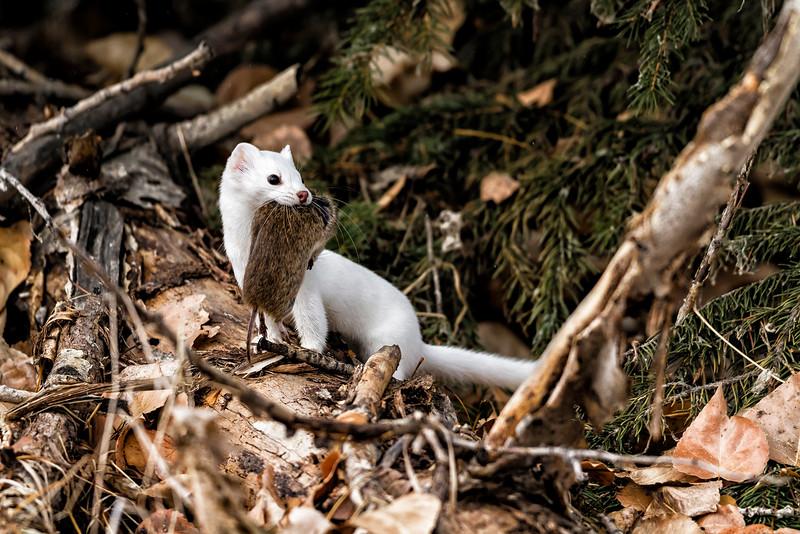 long-tailed weasel_1834-3 4-3x6-4 a.jpg