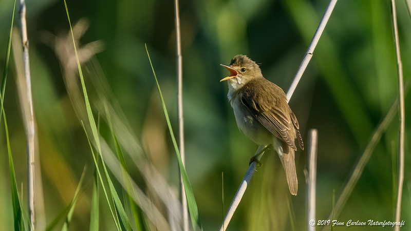Kærsanger - Acrocephalus palustris - Marsh warbler