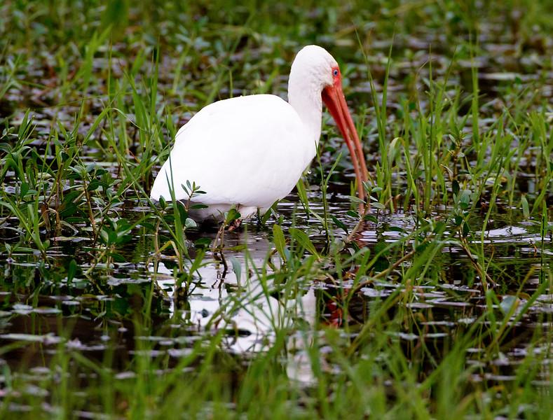 White Ibis fishing