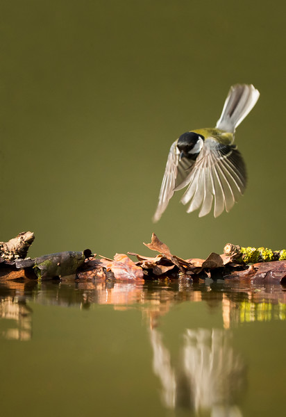 Great Tit Dive.. Central England