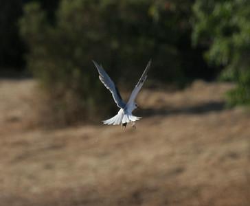 Kites-Arastradero