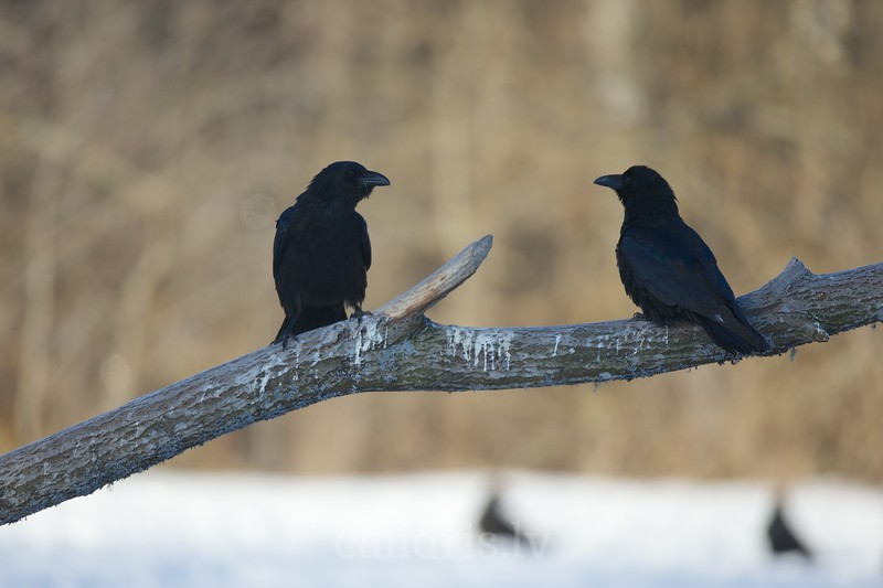 Ravens perched on a branch
