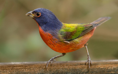 This picture of the Painted Bunting shows off his beautiful coloring.  Females are light green in color similar to the green you seen on his back.
