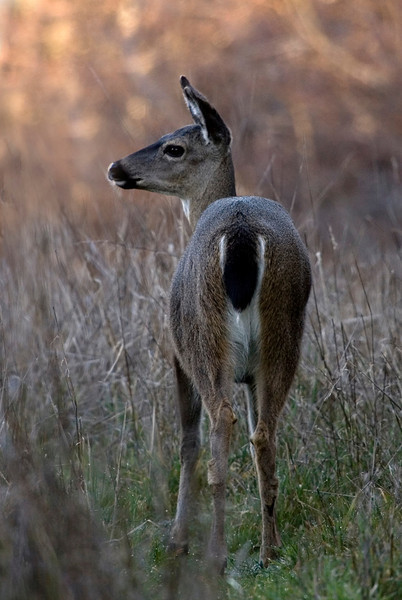 Black tailed deer, Point Reyes