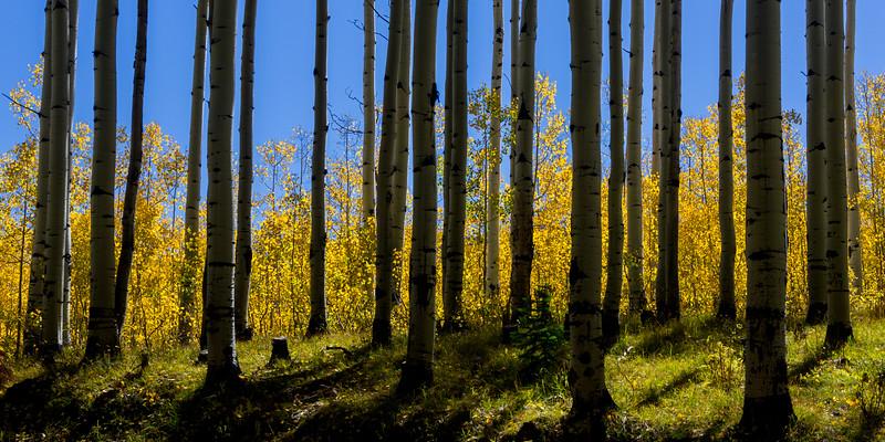 Backlit Forest near Kebler Pass