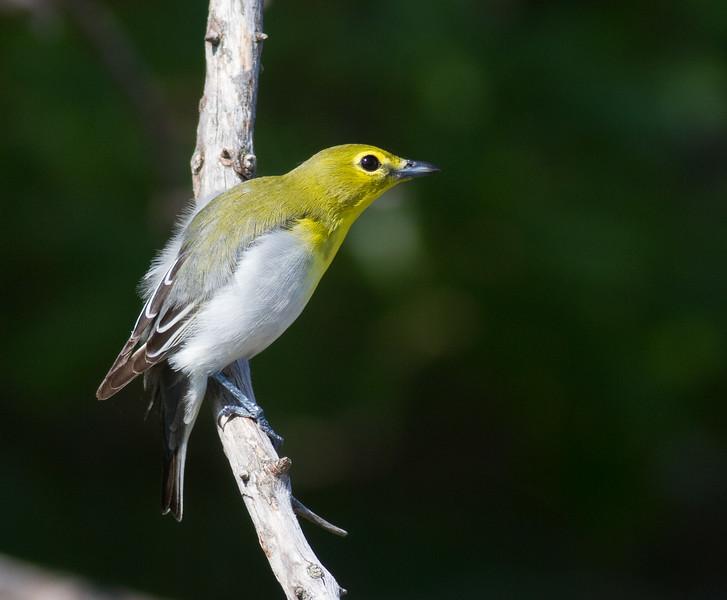 Yellow-throated Vireo Crex Meadows Grantsburg WI IMG_0329.jpg