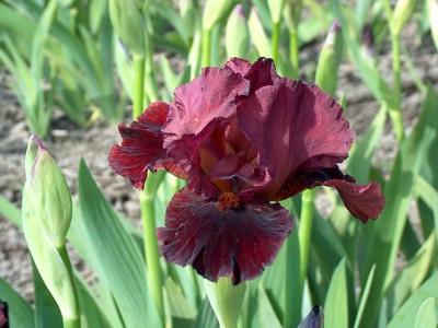 Iris 'Morning Show'.jpg