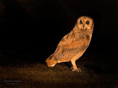 Marsh Owl (Asio capensis)
