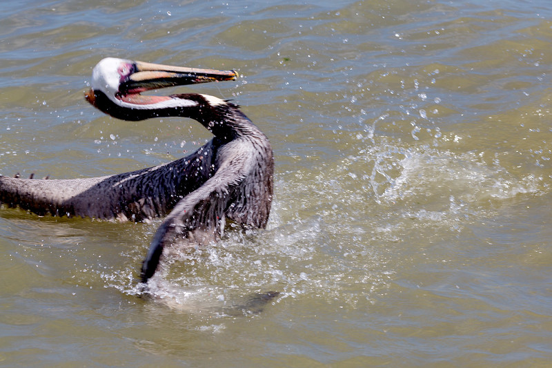 Oh dear!  A Brown Pelican has swallowed a fishing hook!