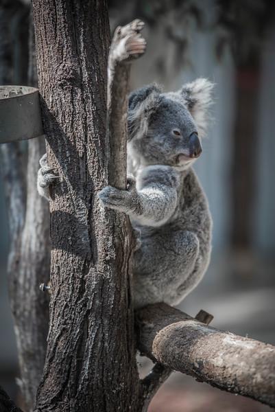 Koalas02.jpg