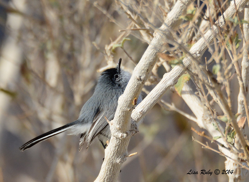 Black-tailed Gnatcatcher - 2/2/2014 - Anza Borrego Desert State Park Visitor's Center