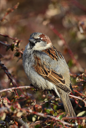 Gråspurv - House Sparrow