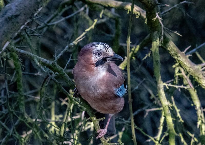 A Jay at Pulborough Brooks-44.jpg
