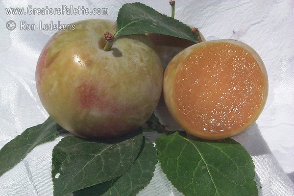 Green Gage Plum - Prunus x domestica sp.