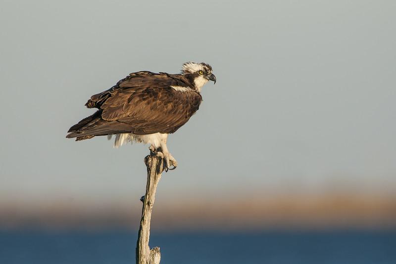 Osprey Female Perching in Snag.jpg