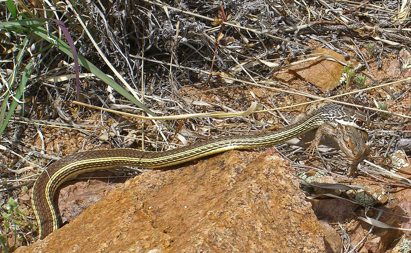 whip snake with prey(3).jpg