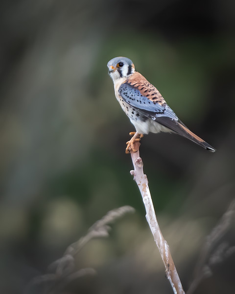 _6001842-Edit-American Kestrel male portrait.jpg