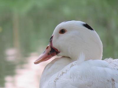 Les canards sont des êtres sensibles