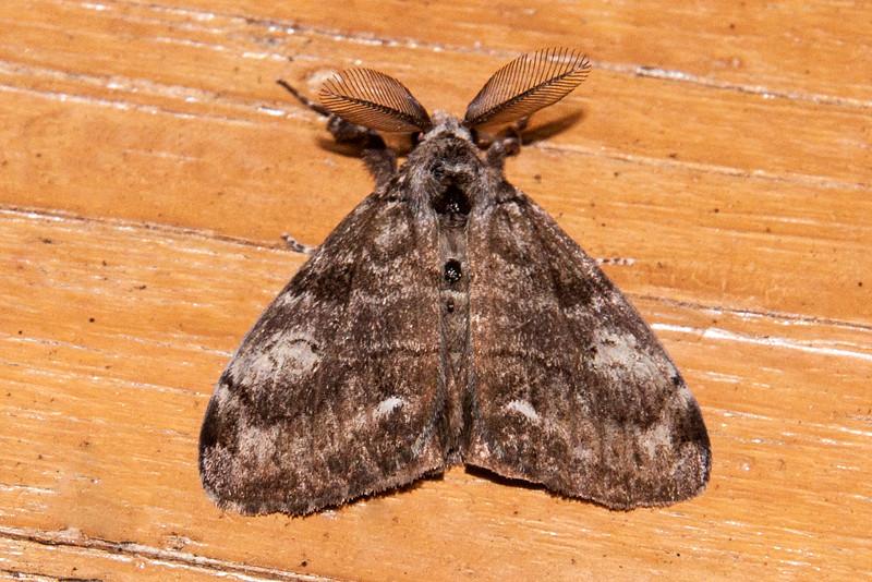 Tussock - White-marked - Orgyia leucostigma) - Dunning Lake - Itasca County, MN