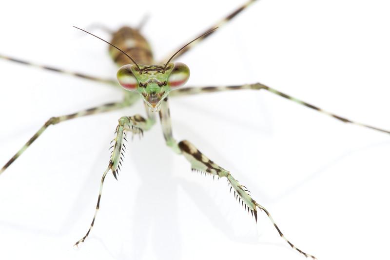 Suriname_2012_1529_Naskrecki.jpg