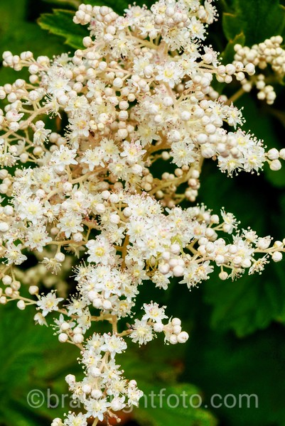 Oceanspray -  Holodiscus discolor