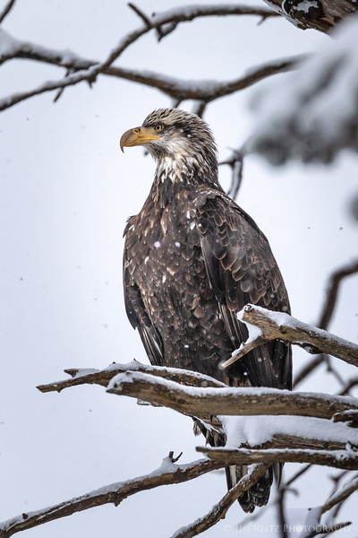 Immature bald eagle in my backyard tree, during one of last week's snow storms.