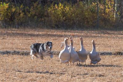 BSCA October Herding Tests/Trials 2020