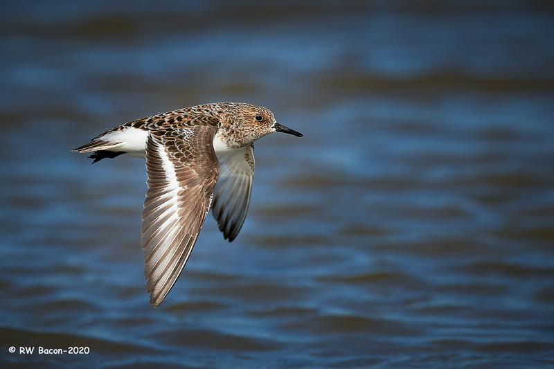 Sanderling fly-by 1.jpg