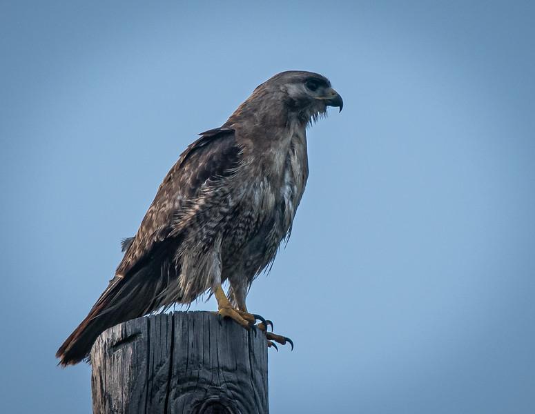 """Red-Tail Hawk """"Scrappy"""" profile"""