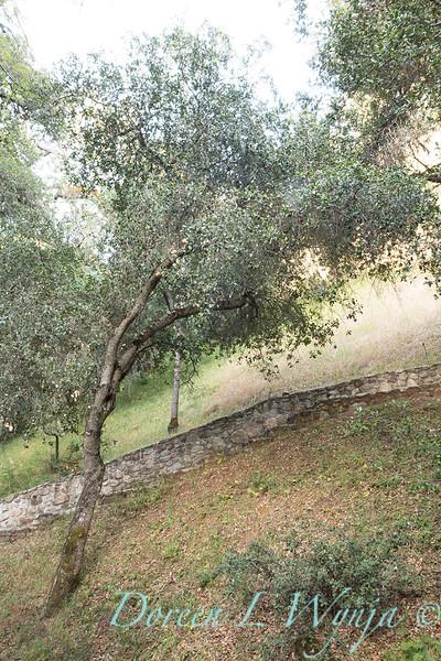 Quercus agrifolia - stonework steps_4477.jpg