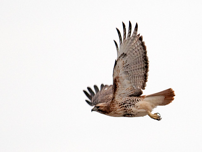 Hawk - Red-tailed