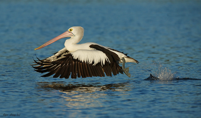 Pelican take off MASTER.jpg