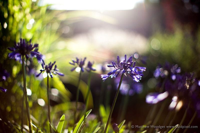 Woodget-130810-035--backlit, flower - Plants, sunset - TIME OF DAY.jpg
