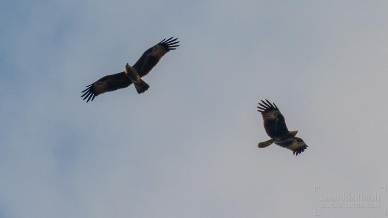Black Kites.jpg