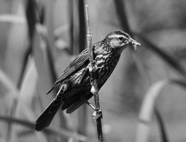 Tom Fennelly - Bird in the reeds - Hankin 2017 exhibit