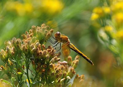 Odonata of Colorado