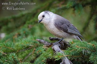 Gray Jay (Perisoreus canadensis )