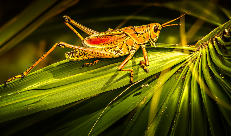 Grasshoppers 47.jpg