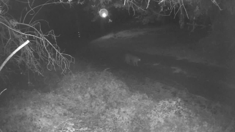 12/11/17,  0557: Less than an hour after previous video, a mountain lion strolls up the driveway