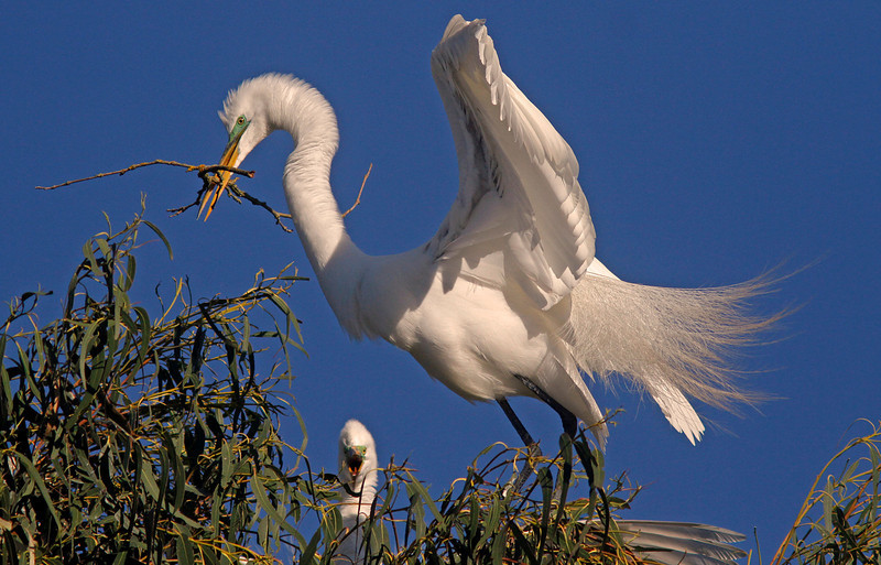 Great Egret with nesting material, Ninth Street Rookery