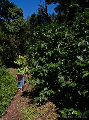 Coffee Plants in La Reyna, Nicaragua