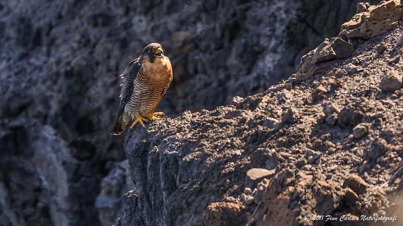 Berberfalk - Falco pelegrinoides - Barbary Falcon