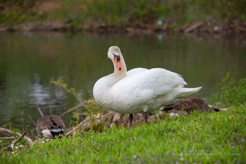 mute swan signed-19.JPG