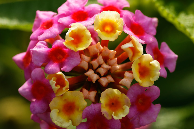 Lantana - Flowers bloom on the levee
