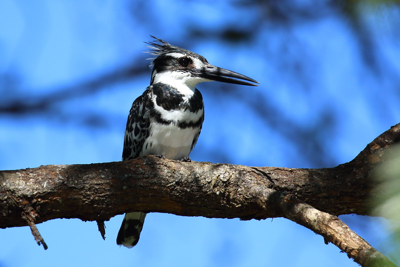 Pied Kingfisher.JPG